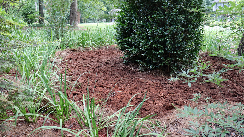 August 10:  Digging up the space around the camellia.