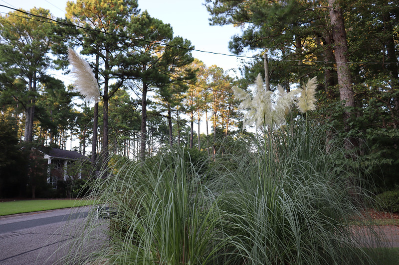 September 7:  Putting the pampas grass plants by the mailbox has worked out very well.