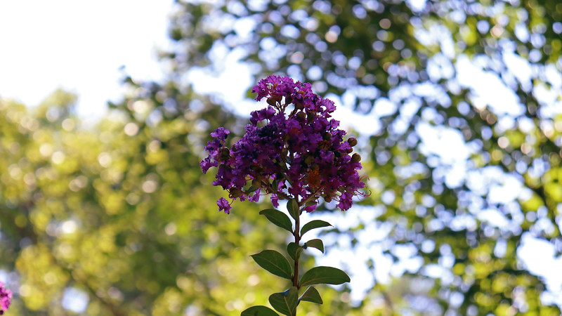 August 17:  Purple Magic Crape Myrtle.