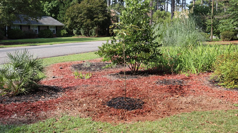 September 14:  The dogwood from the backyard now has a new home out front.