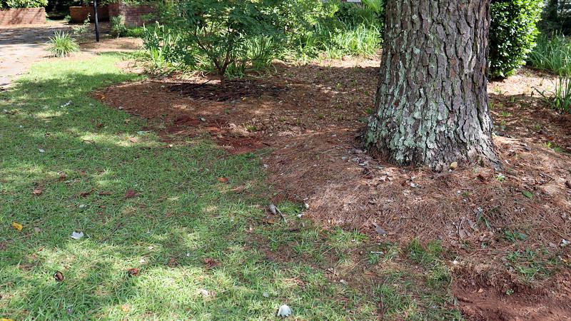 August 24:  Planting irises around the pine tree will work well.