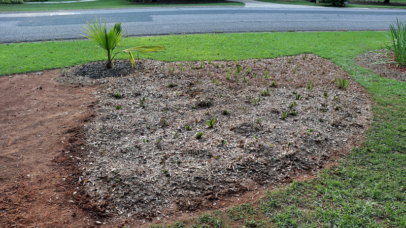 July 27:  Just like before, I watered thoroughly and added a layer of homemade mulch.