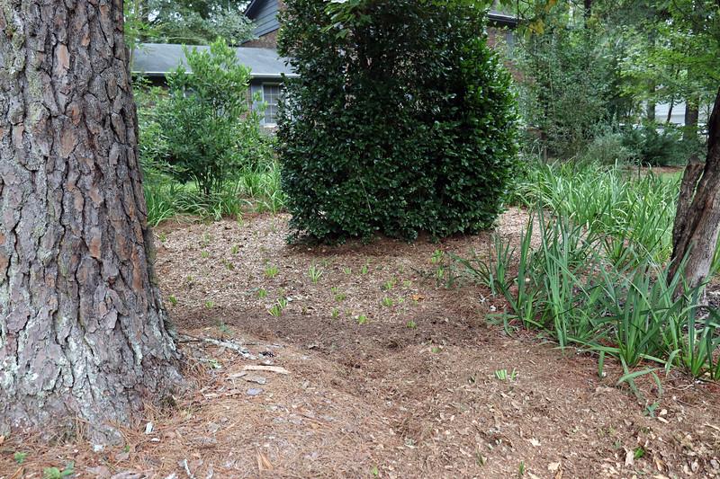 August 25:  Planting irises around the pine tree.