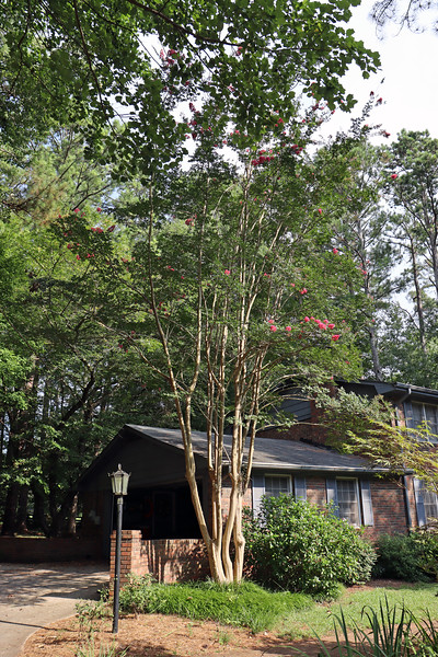July 27:  The crape myrtle from another angle.