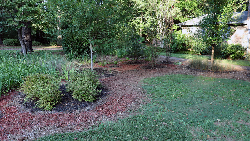 September 2:  I left a small clump of irises in between the Crimson Red Crape Myrtle and the pear tree, (right side of the photo above).