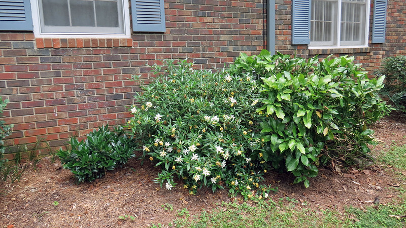 June 5:  I planted the Frostproof Gardenia in April 2014.  Lately, it's been blooming with greater intensity.