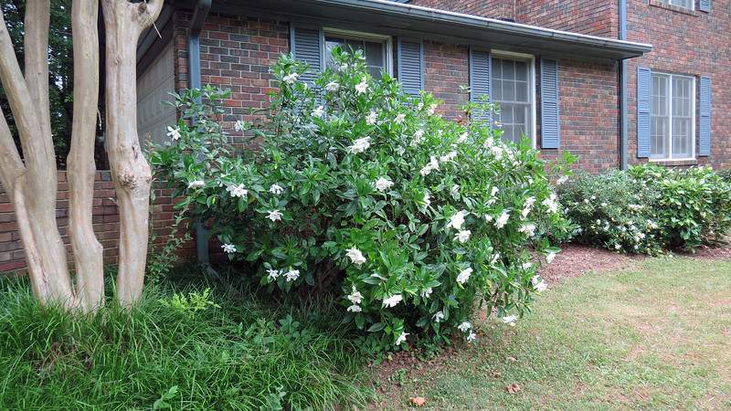 June 5:  The plant in the photo above appears to be some kind of gardenia.