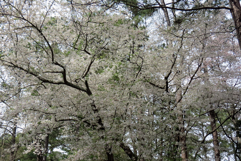 March 24:  I always look forward to seeing this tree bloom each spring.