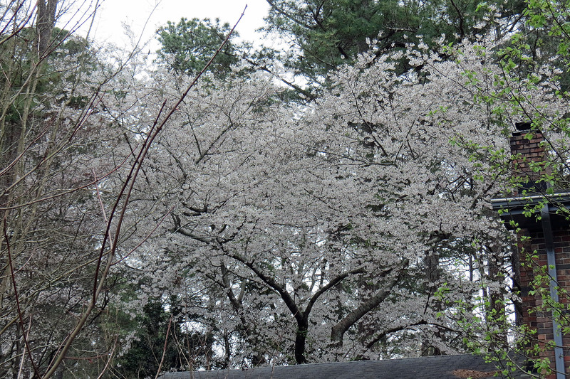 March 16:  The Yoshino Cherry tree is completely white.