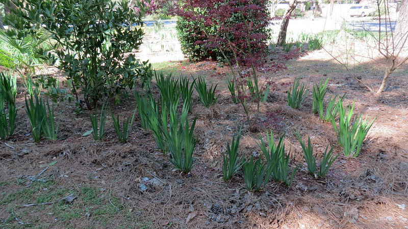 March 24:  I did some prep work last weekend for the red mulch path.