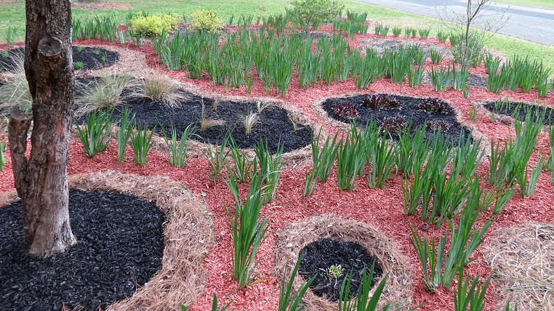 March 31:  The black mulch allows for more color contrast which makes the green appear stronger.