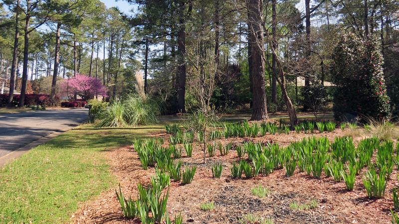 March 24:  I think I see some activity at the Cherokee Princess Dogwood tree.