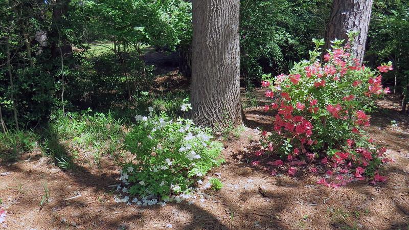 April 10:  Delaware Valley White azalea.