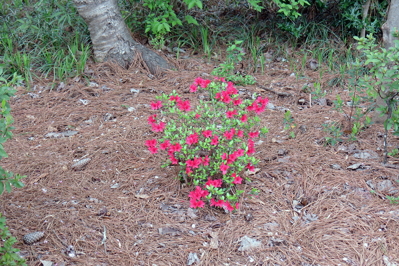 March 16:  This small azalea was in full bloom before some of the others were awake.