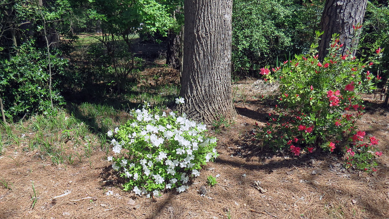 April 2:  By the time April arrived, this azalea looked great !