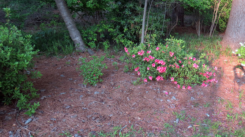 April 7:  The difference between the two plants seen in the photo above is pretty clear.  the small azalea on the left is already done blooming, while the plant on the right is still going strong.
