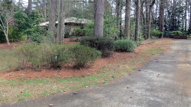 March 2:  The azaleas next to the driveway all seem to be of different varieties that wake up and bloom on slightly different schedules.  Generally, the group usually wakes up anywhere from the the end of February through the middle of March, and is done blooming throughout April.  The photo above shows what they looked like during the initial awakening.