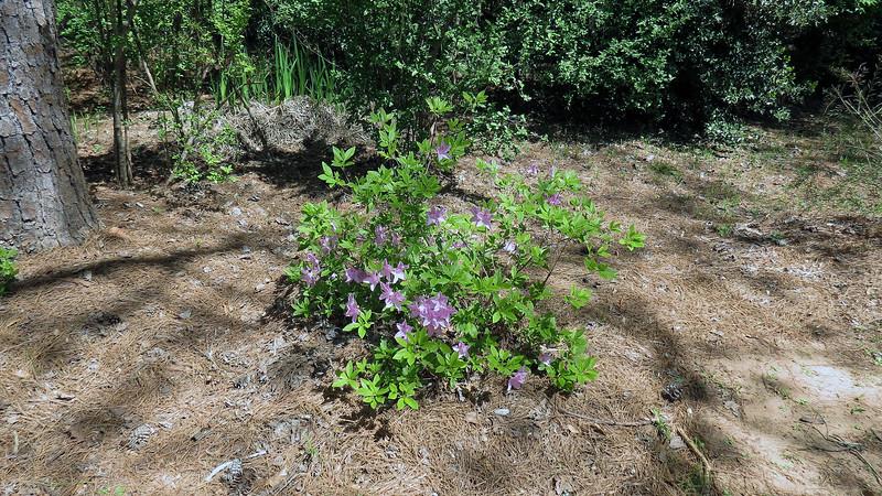 April 2:  Korean azalea.
