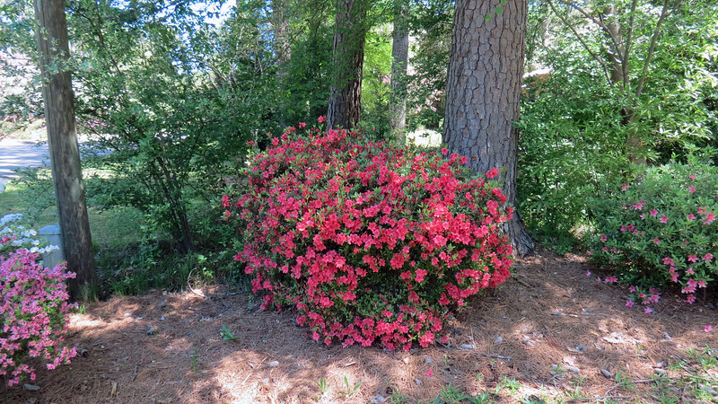 April 10:  After three more days, the second azalea looks great !