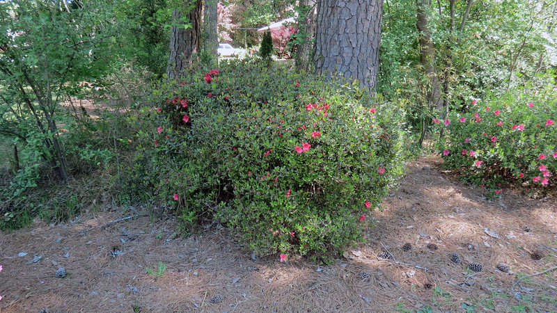 April 2:  The second azalea usually gets going at the beginning of April.