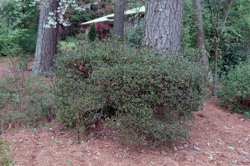 March 16:  The second azalea in line usually wakes up later than the others.