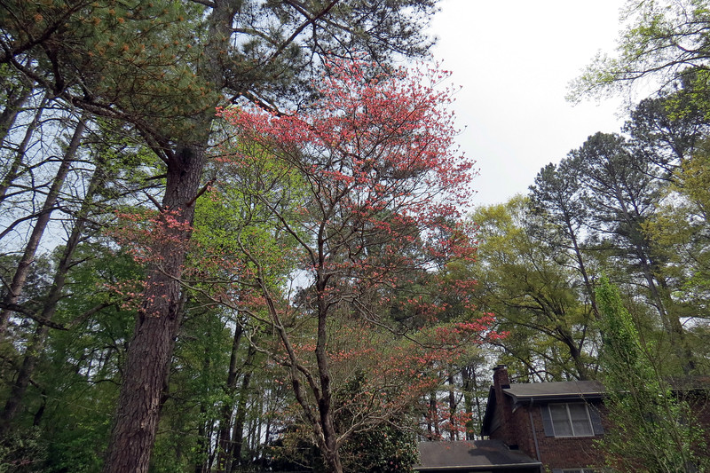 April 4:  The red dogwood looks great every spring.
