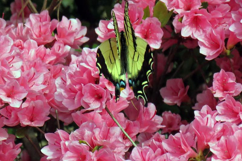 Butterfly in my azaleas.