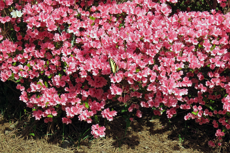 I spotted someone hanging out on the first azalea cluster next to the street.