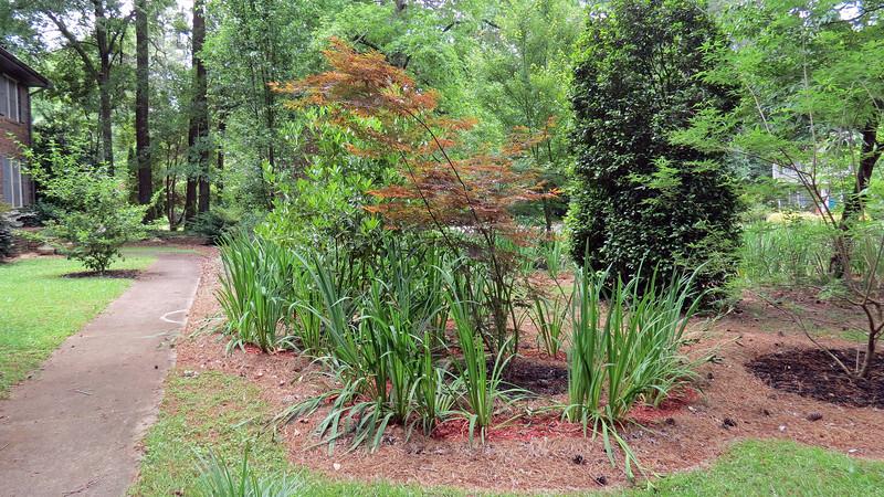 May 20:  Japanese Maple tree.