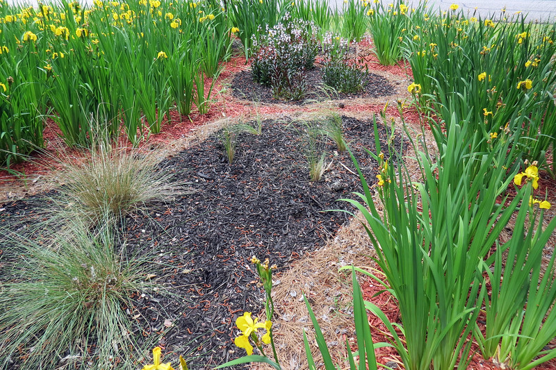 May 7:  The rain we've had this spring has given most of the Mexican Pony Tails Feather Grass plants a chance to recover.