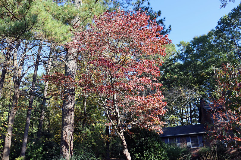 Some variety of flowering dogwood tree that was in place when I moved to Georgia in 2009.