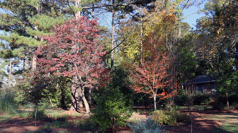 The dogwood (L) and maple (R) trees both look beautiful in the fall.