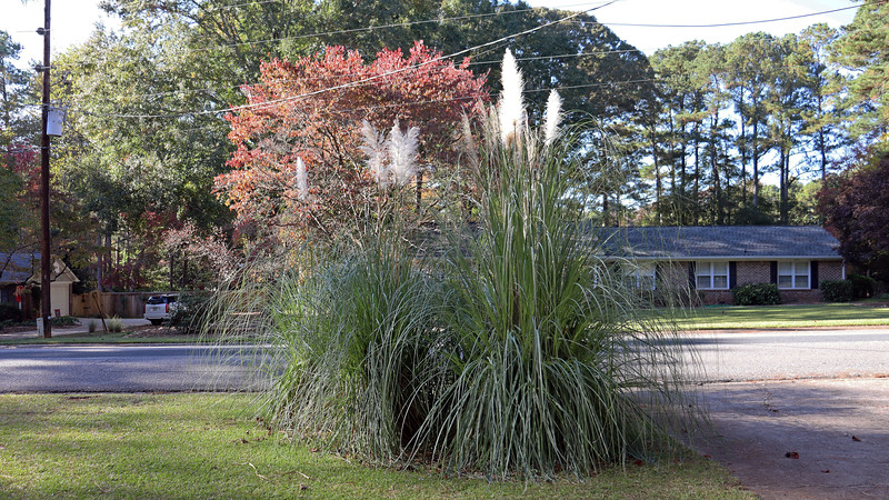 The three pampas grass plants by the mailbox look great.