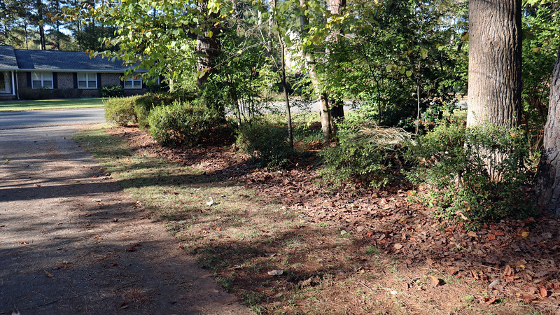 The driveway azaleas are doing well.  Maybe I can do something with the spaces in between each of them.  I'll think about that over the winter.