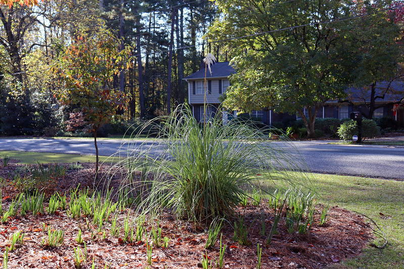 The pampas grass plants have done well in the front yard.