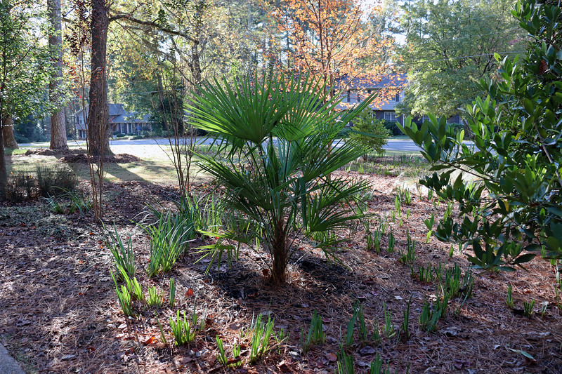 I've said for years that the Windmill Palm tree I planted here in 2014, while still green and alive, seemed to do no growing of any kind.  This year, I realized that I am completely wrong, and that it has more than doubled in size in the last 5 years.