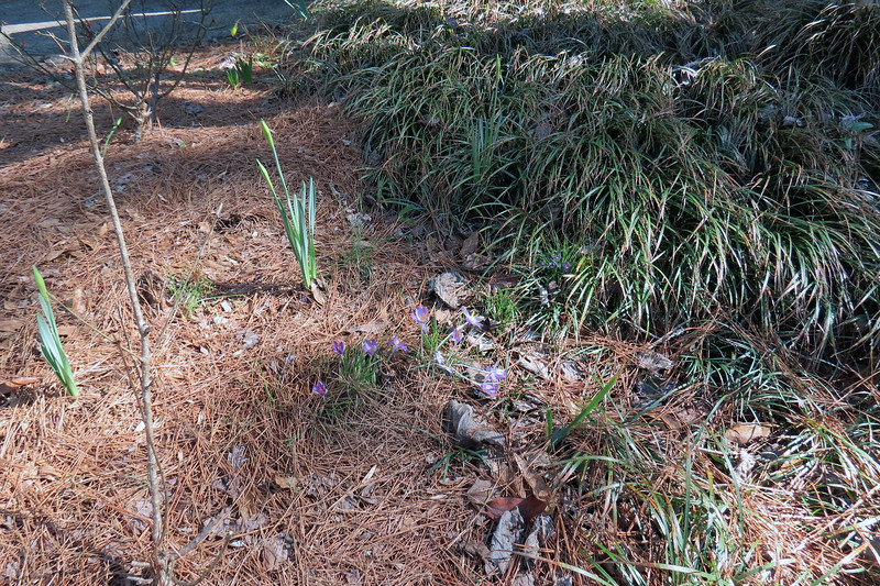 February 13:  The purple flowers are crocus bulbs.  I noticed crocus flowers in the backyard when I first moved in and have tried to migrate them all to this area.  I also planted some new bulbs a few years ago.  They seem to grow well, but are in danger of being overrun by the ornamental grass.