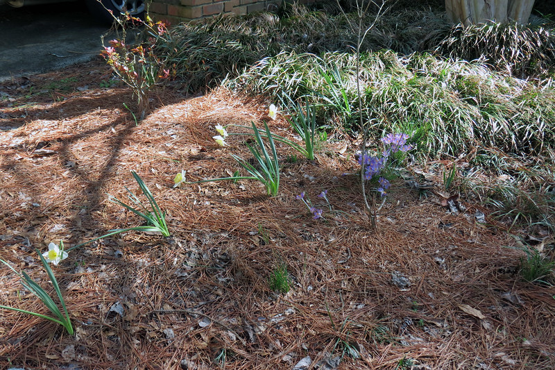 February 24:  I'll probably spread the cluster of daffodils in the corner out into the area seen above.