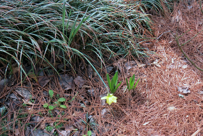 February 16:  I may have to move this daffodil out of the ornamental grass.