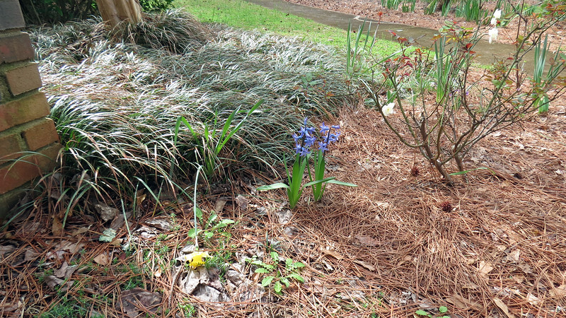 March 2:  I found the two blue flowers in the center of the photo above in the backyard and decided to move them here.  I'm not sure what they are, but they look nice.