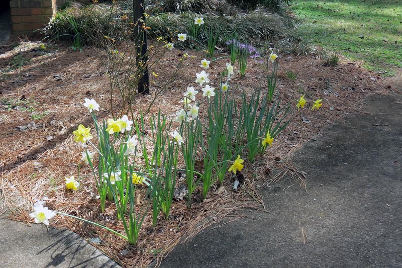 February 25:  More daffodils bloom.