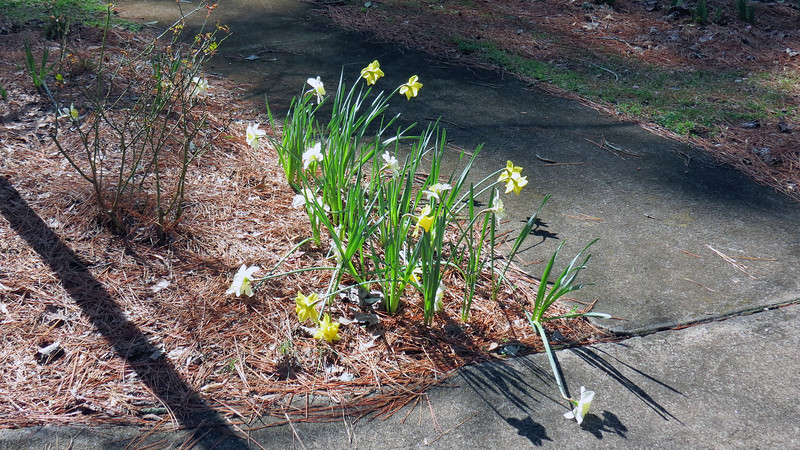 February 24:  More daffodils appear a week later.