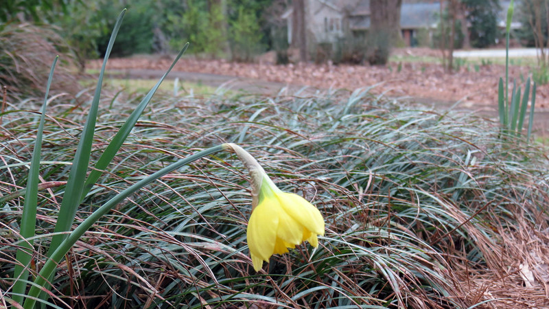 February 15:  This is the first daffodil of the season.  The rest should be appearing very soon.