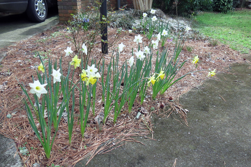 March 2:  The daffodils still look great !