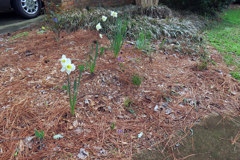 March 2:  Daffodils look great.