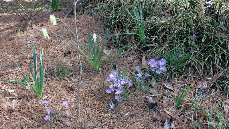 February 25:  And the crocus bulbs still look great.  It looks like I've got a few crocus bulbs being smothered by the ornamental grass.