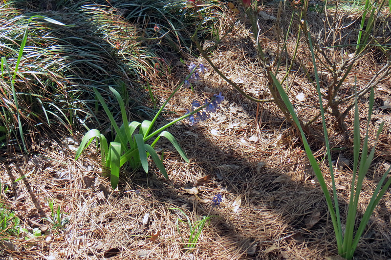 March 20:  The Blue Bells looked great for a couple of weeks.
