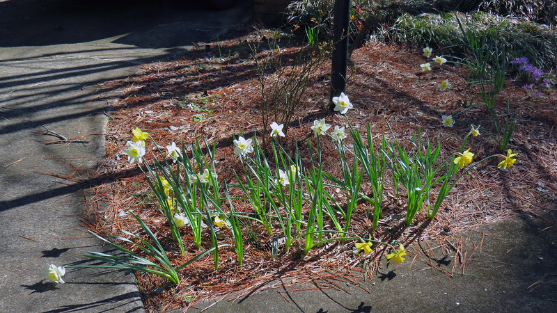 "February 24:  I moved all of the daffodils I could find in the yard to this corner for ""safe keeping"" until I could figure out what to do with them."