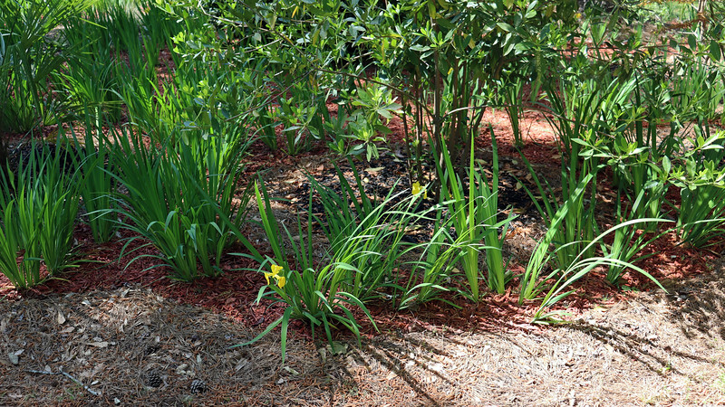 At the moment, blooms are appearing from the existing iris groups that did not get divided last summer.