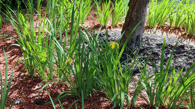 It looks like the irises on the driveway side of the yard are starting to bloom first, which is what happened last year.